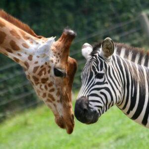 adulte zebre rencontre)